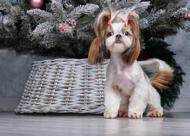 Shih tzu-hond met kort haar na het verzorgen van profielweergave.