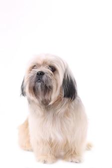 Shih tzu-hond op een witte achtergrond wordt geïsoleerd die