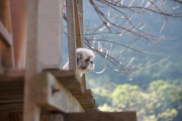 Shih-tzu hond stond op het balkon van het huis en keek naar de berg.