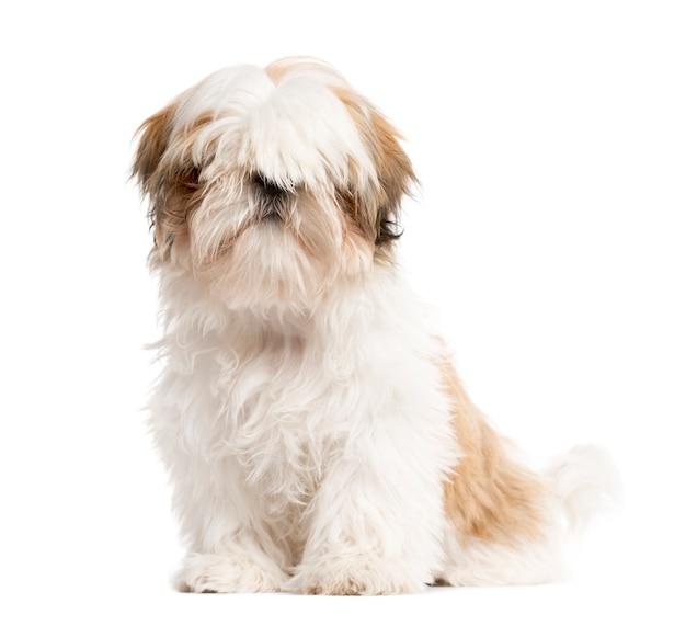 Shih tzu hondenzitting voor witte achtergrond