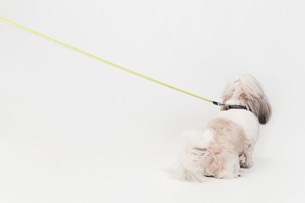 Shih-tzu-puppy die oranje boog draagt. leuk hondje of huisdier staat geïsoleerd op een witte achtergrond. de chrysanthemum dog. negatieve ruimte om uw tekst of afbeelding in te voegen.
