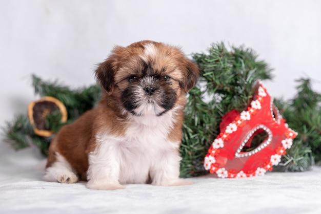 Shih tzu-puppy op wit met kerstmisdecoratie. kerst decor.