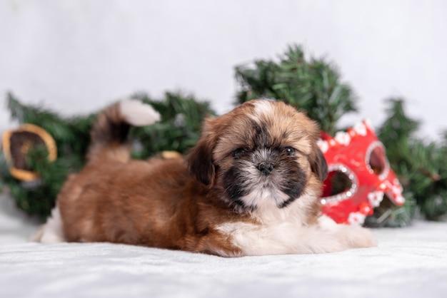 Shih tzu-puppy op wit met kerstmisdecoratie.
