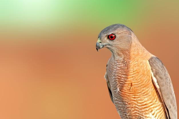 Shikra kijkt scherp door zijn mooie rode oog