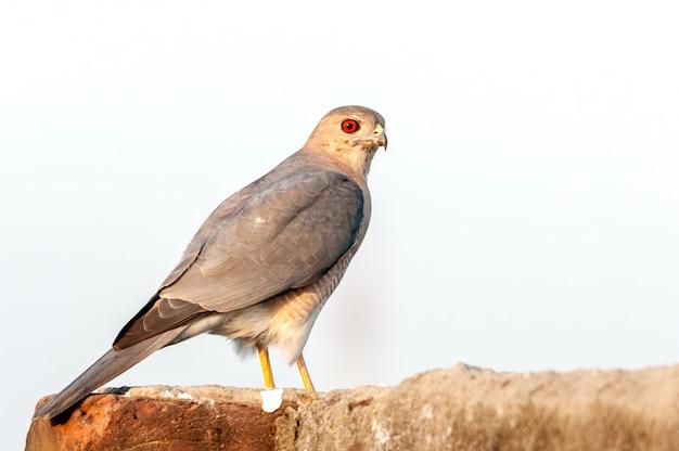 Shikra zittend op een muur tegen kale hemel terugkijkend