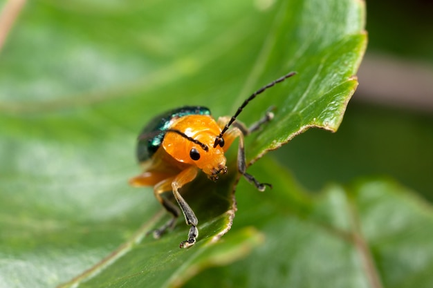 Shining flea beetle - asphaera lustrans op blad