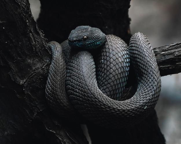 Shore pit viper