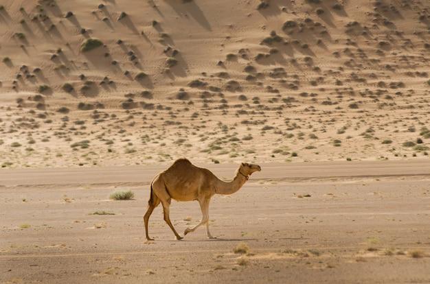 Shot van een kameel die overdag in de woestijn ronddoolt