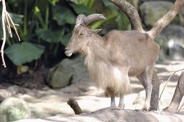 Shot van een mannelijke bruine langharige geit met grote hoorns
