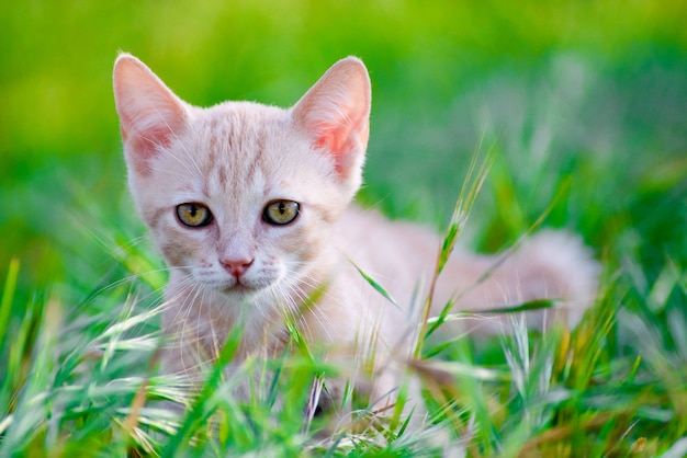 Shot van een mooie kat met kleurrijke ogen, zittend op het gras