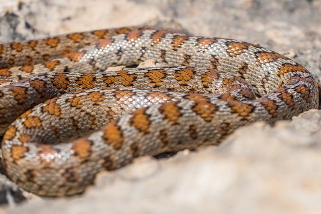 Shot van een opgerolde volwassen leopard snake