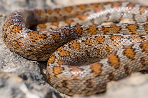 Shot van een opgerolde volwassen luipaardslang of europese rattenslang, zamenis situla, in malta