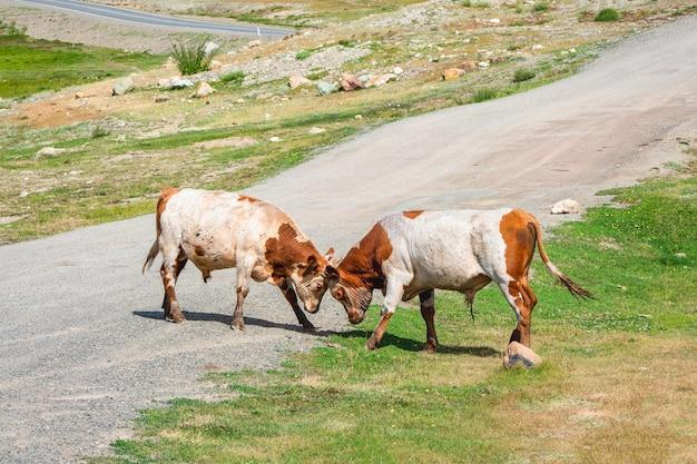 Showdown van de stieren. twee rode stieren op de weg om hun kracht te meten.