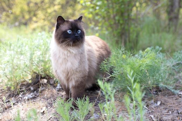 Siamese blauwogige kat bevindt zich alleen op gras in het park op zonnige dag