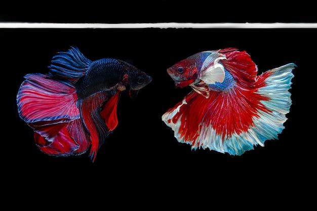 Siamese het vechten vissen die op zwarte vechten