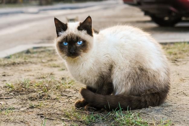 Siamese kat met blauwe ogen die op de straat zitten
