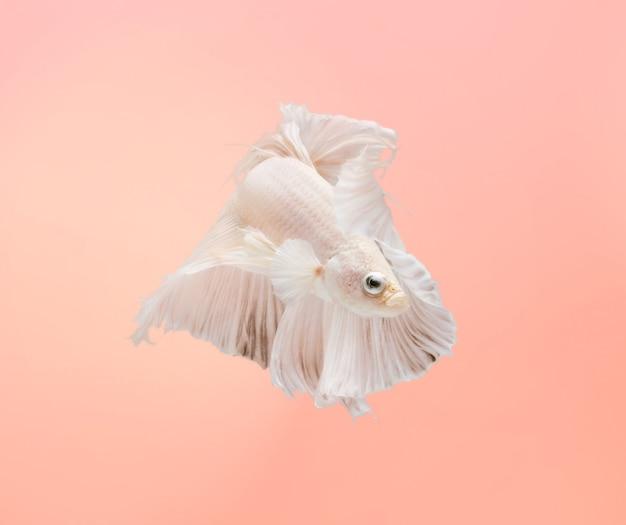 Siamese kempvissen tonen de prachtige vinnenstaart