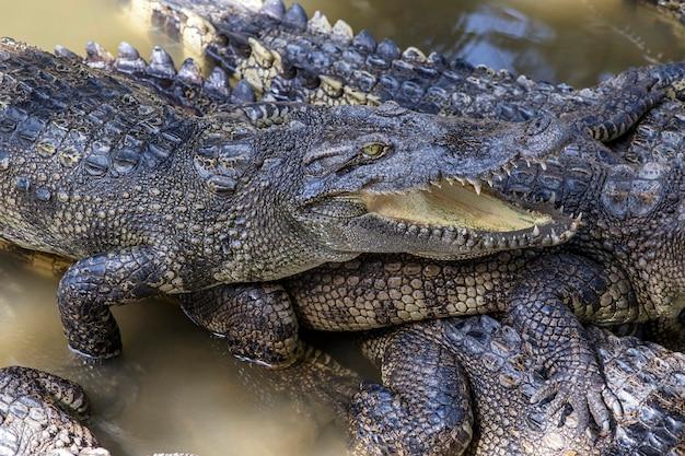 Siamese krokodillen mekong delta in vietnam