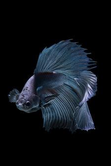 Siamese vechten vis, betta geïsoleerd op zwarte achtergrond