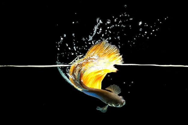 Siamese vechten vis geïsoleerd op zwarte achtergrond