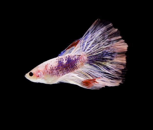 Siamese vechtende witte vis die zich op zwarte achtergrond beweegt