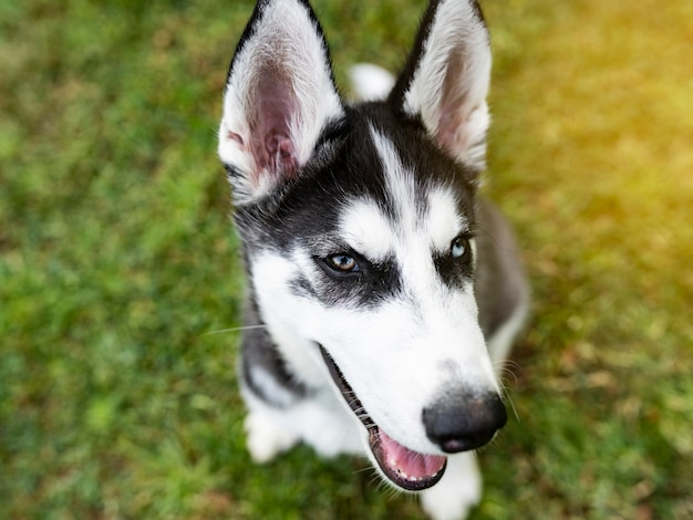 Siberisch schor hondportret met 2 kleurenogen van blauw en bruin.