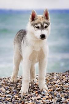 Siberische huskies op een strand