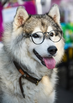 Siberische husky draagt een bril zittend op een witte stoel.
