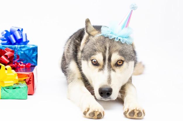 Siberische husky hond legt op wit met huidige en grappige hoed