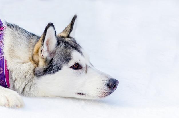 Siberische husky hond liggend op sneeuw. sluit omhoog openluchtgezichtsportret. sledehonden racen training bij koud sneeuwweer. sterke, schattige en snelle rashond voor teamwerk met slee.