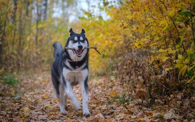 Siberische husky hond op een wandeling in de herfst park met gele bladeren