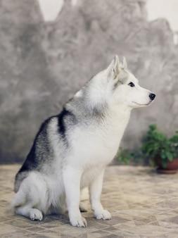 Siberische husky honden van grijze en witte kleuren op een grijze achtergrond.