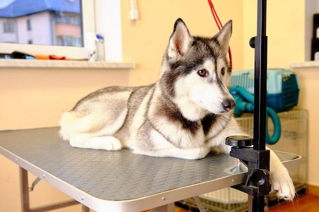 Siberische husky ligt in een winderige kliniek voor onderzoek.