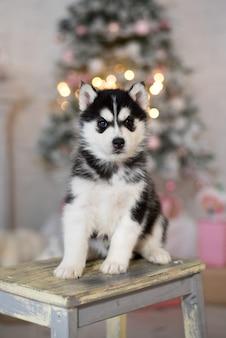 Siberische husky op een kruk met erachter kerstboom