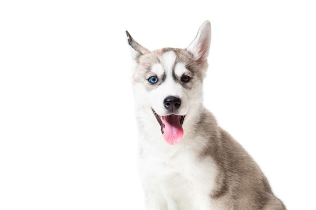 Siberische husky pup geïsoleerd op een witte achtergrond. een hond zit en kijkt in de camera