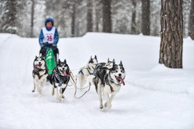 Siberische husky sledehonden racen. mushing wintercompetitie. husky sledehonden in harnas trekken een slee met hondenbestuurder.