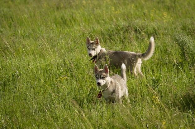 Siberische husky spelen op het gras in het veld. de puppy's en hun ouders. detailopname. actieve hondenspellen. noordelijke sledehonden.