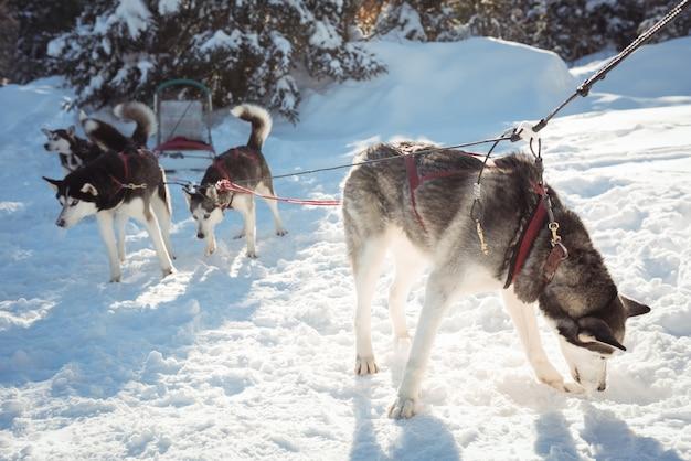 Siberische huskyhonden die op de sleetocht wachten