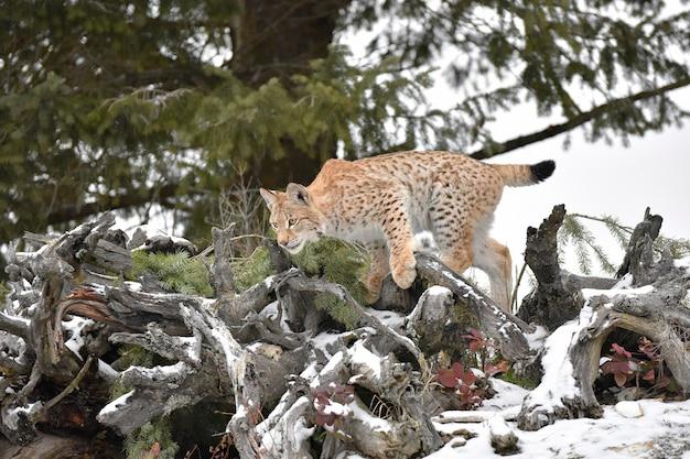 Siberische lynx cub in de sneeuw klimmen over tree stump