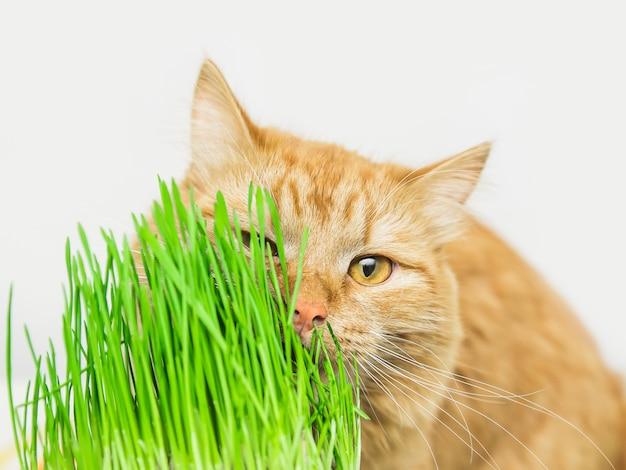Siberische rode kat eet groen gras, groen sappig gras voor katten, gekiemde haver nuttig voor katten