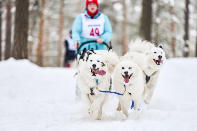 Siberische schor hond die in de sneeuw rent