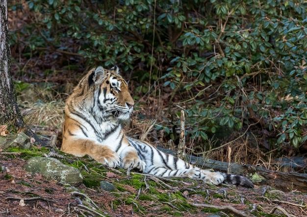Siberische tijger, altaica van panthera tigris, die in het bos rusten. dierentuin.