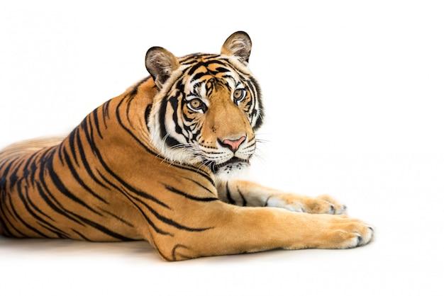 Siberische tijger die op wit wordt geïsoleerd