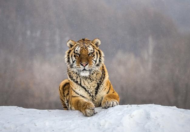 Siberische tijger liggend op een met sneeuw bedekte heuvel. portret tegen het winterbos. siberische tijgerpark