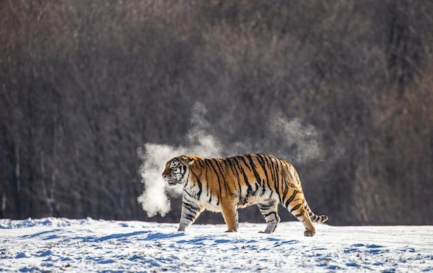 Siberische tijger loopt in een besneeuwde open plek in een wolk van stoom bij strenge vorst.