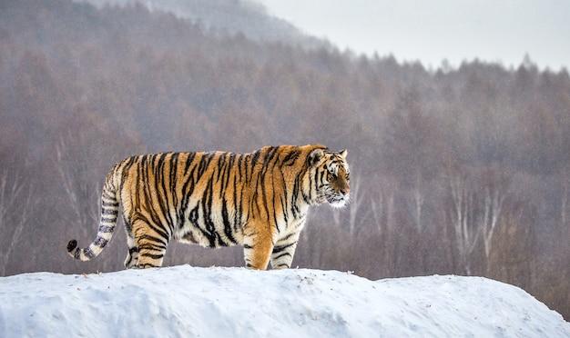 Siberische tijger staat op een besneeuwde heuvel op een achtergrond van winterbomen. siberische tijgerpark.