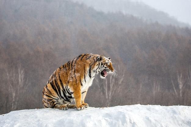 Siberische tijger zit op een besneeuwde heuvel tegen de achtergrond van een winterbos. siberische tijgerpark.