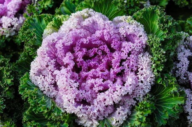 Sier brassica kool bloem planten.