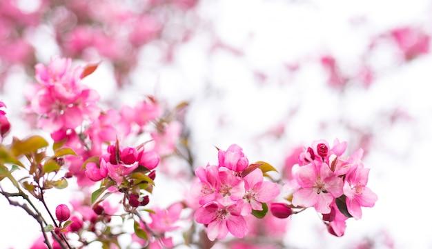 Sierappelboom die geroepen kokende appel bloeien. lente bloeiende tuin fruitboom. geweldig behang met prachtige close-up van roze siberische krabappelbloesems