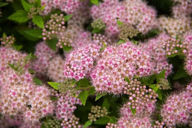 Sierlijke plant met veel kleine roze knoppen close-up van een bloem in de tuin